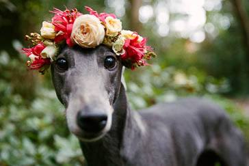 Asha the greyhound at a wedding in Stirling, in the Adelaide Hills